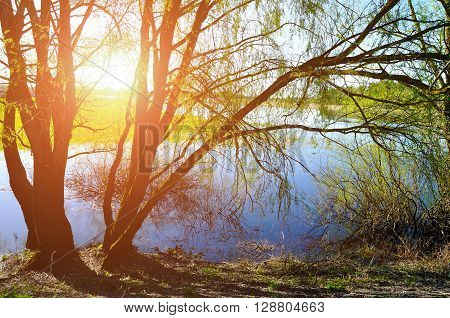 Sunny colorful landscape - willow under sunshine on the bank of the small river at spring sunset. Spring rural landscape.