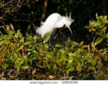Snowy Egret claw raised to head scratching an itch or preening plumage