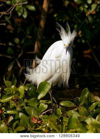 Frontal view of a Snowy Egret displaying flowing plumes