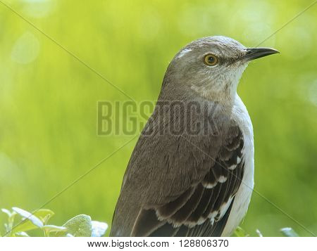 Arkansas Mississippi Tennessee Texas Florida state bird Northern Mockingbird on hedge
