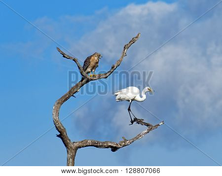 Red Shouldered Hawk and Great Egret perched on dead tree both squawking screeching with open beaks