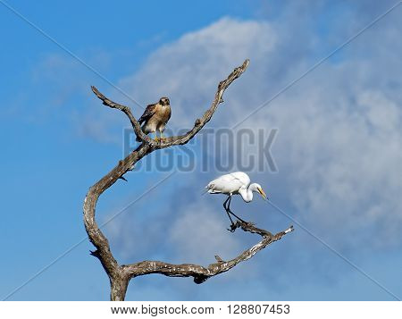 Red Shouldered Hawk perched on dead tree with Squawking Great Egret