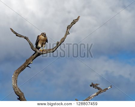 Red Shouldered Hawk perched on dead tree squawking with beak wide open