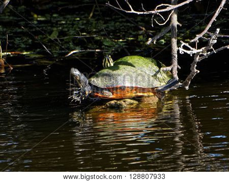 Pair of Cooter Turtles resting on protrusion from water in Florida Wetlands