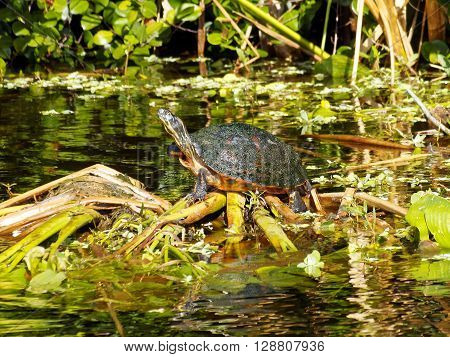Florida Red-bellied Cooter Turtle on debris in water of Florida Wetlands