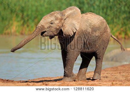 An African elephant (Loxodonta africana) at a waterhole, Addo Elephant National Park, South Africa