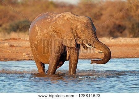 African elephant (Loxodonta africana) drinking water, Etosha National Park, Namibia