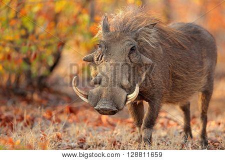 Warthog (Phacochoerus africanus) in natural habitat, Kruger National Park, South Africa