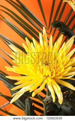 chrysanthemum with stem isolated on orange background