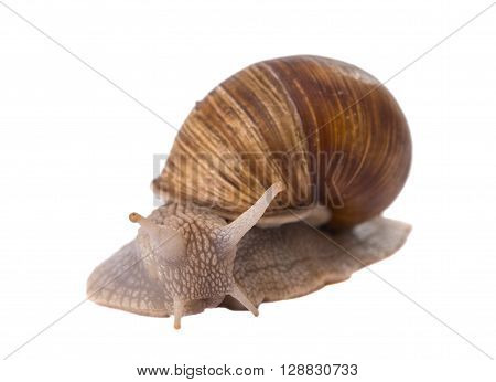 Funny snail isolated on white background snail-shell, slimy, close-