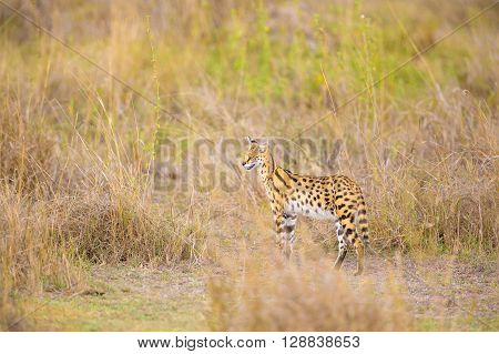 Serval in the wild looking after prey in Serengeti Tanzania, Africa. Leptailurus serval standing in the grass a hot day.