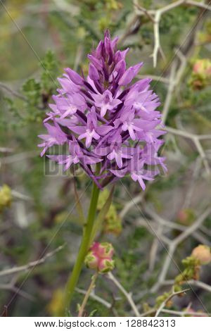 Pyramidal Orchid - Anacamptis pyramdalis with background of Spiny Burnet - Sarcopoterium spinosum