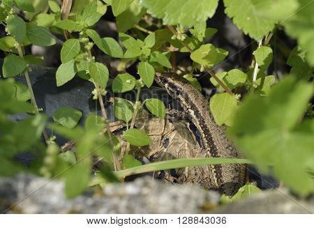 Troodos Wall Lizard - Lacerta troodica Endemic Reptile of Cyprus poster