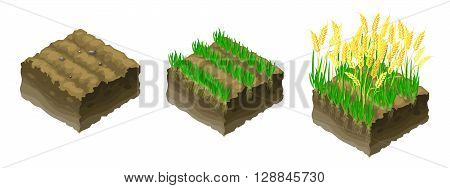 Three pieces of land with the rising ears of wheat in the vector.