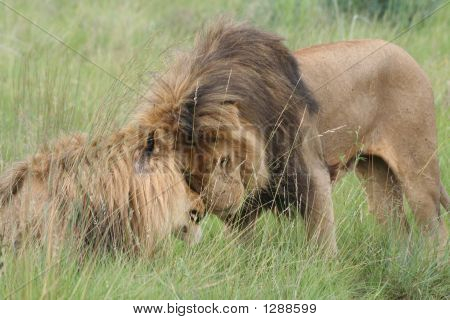 Nuzzling Lions