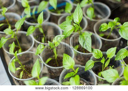 Pots of pepper seedlings, standing near window
