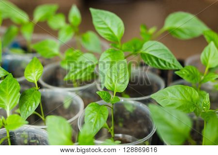 Sprout of green pepper, planted in the ground