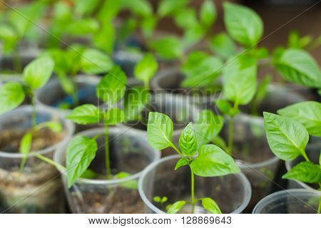 Pepper seedlings growing in a pots for planting in the garden