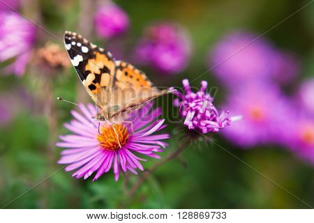 Beautiful butterfly on a violet flower close up. A butterfly on a flower. Lepidopterans lepidopterous insects butterflies and moths.