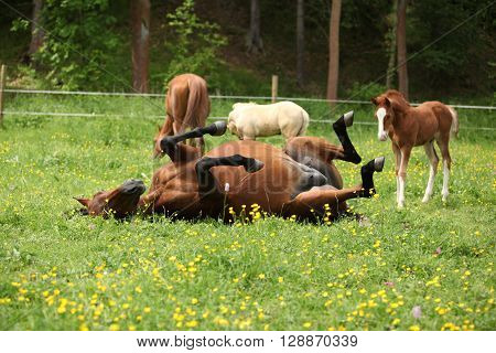 Suprised Foal Looking At Roll Around Mare