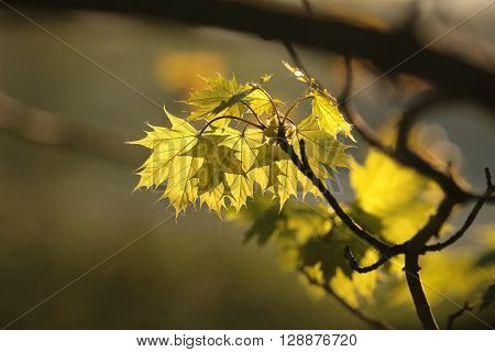 Spring maple leaf in the forest. Poland