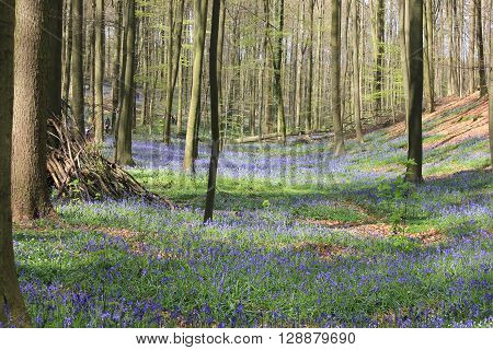 Forest with millions of bluebells in springtime