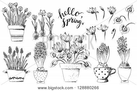 Set of vector hand drawn line art bulb pot flowers and hello spring lettering. Spring hyacinth grape hyacinth crocus cyclamen ink drawings for easter decor garden backgrounds floral design.
