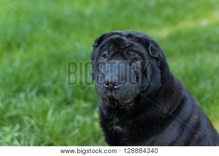 Beautiful old balck shar pei dog on grass. Copy space. Outdoor shot. ** Note: Visible grain at 100%, best at smaller sizes