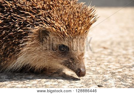 brown, nose, wildlife, backyard, hedgehog, echinoderm, prickly