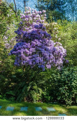 Giant purple Rhododendron. The Washington State flower.