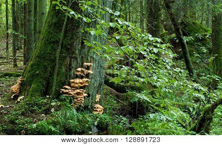 Sulphur Shelf fungi closeup on oak tree in autumnal stand of Bialowieza Forest, Bialowieza Forest, Poland, Europe poster