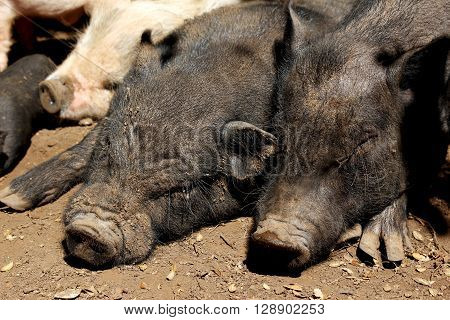 Vietnamese potbellied pigs pair sow and hog