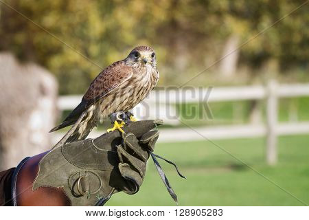 Trained hawk used in the sport of falconry stands perched on the trainer's gloved hand.