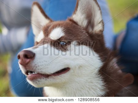 Portrait Of Brown Siberian Husky Puppy With Blue Eyes