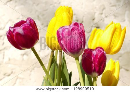 Fresh dew glistens on spring tulips in sunny bloom against stucco background. Copy space on background. ** Note: Soft Focus at 100%, best at smaller sizes