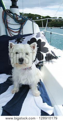 West highland white terrier westie dog relaxing on a sailboat on vacation