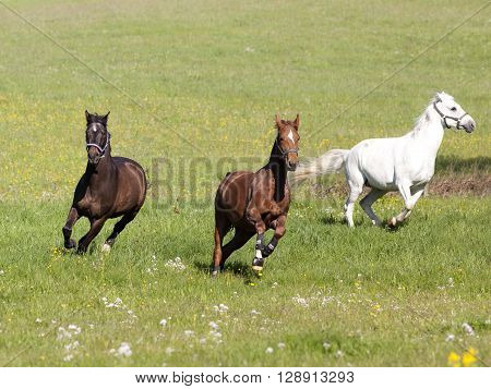 Three beautiful horses gallop free on pasture