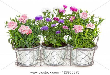 Aster And Dianthus Flowers Potted In Metal Flowerpots.