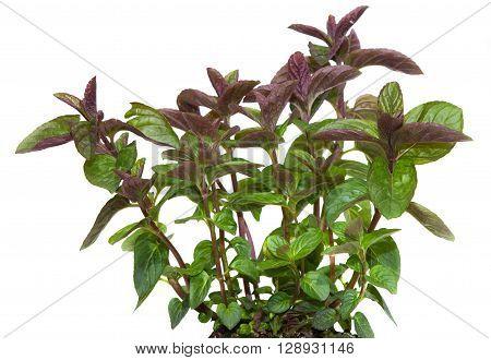 Closeup Of A Black Spermint Plant
