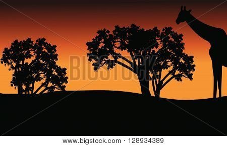 Silhouette of giraffe and trees on safari at afternoon