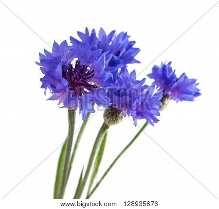 Flowers cornflowers on a white background, bluebottle, asteraceae,