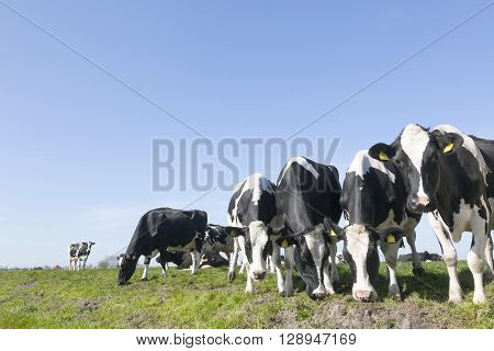 black and white cow in sunny dutch green meadow under blue sky on beautiful day in Holland with other cow in the background