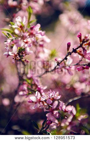 pink blooming ornamental shrub Almonds Low Amygdalus nana closeup local focus shallow DOF
