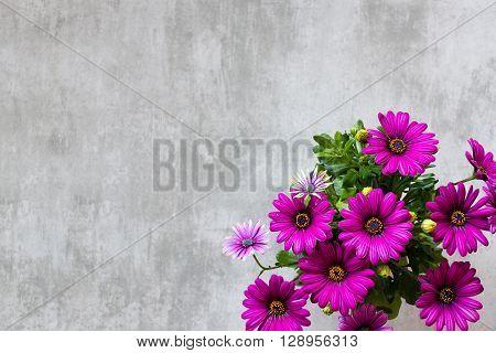 Marguerite Daisy On Concrete Background