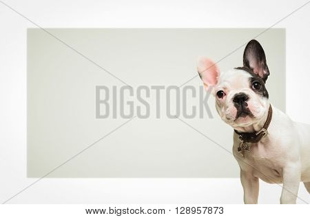 adorable french bulldog puppy dog standing in front of a big blank board looking at the camera
