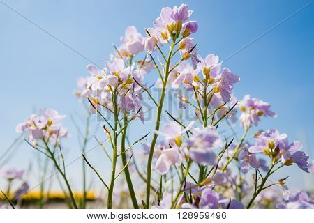 Cuckooflower Cardamine pratensis blooming in a meadow during spring. This plant is a host plant for the orange tip butterfly (Anthocharis cardamines).