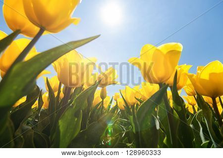 Field with special yellow tulips against blue sky and bright backlight. Photographed from below as frog perspective.
