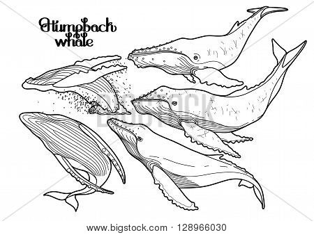Collection of graphic humpback whales isolated on white background.  Giant sea and ocean creatures in black and white colors. Coloring book page design