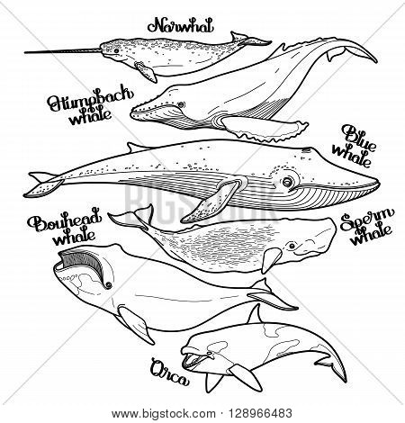 Collection of graphic whales isolated on white background. Vector giant sea and ocean creatures in black and white colors. Coloring book page design