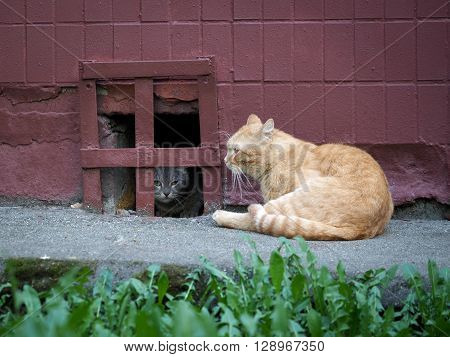 Street cats. Wall House, cellar grating. Gray cat hides behind bars. Cat watches redhead big cat. The concept of the problem of stray animals in the cities.